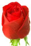 Red Rose Macro Royalty Free Stock Photo