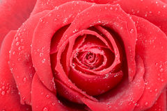 Red rose macro Royalty Free Stock Photography