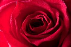 Red rose macro Royalty Free Stock Image
