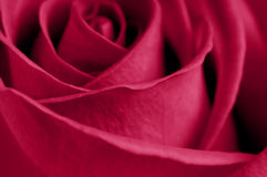 Red rose macro Stock Photos