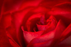 Red Rose Macro Royalty Free Stock Images