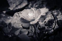 Red rose macro Stock Image