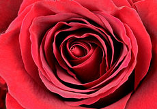 Red Rose in macro shot Stock Photography