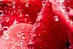 Red rose macro Stock Photography