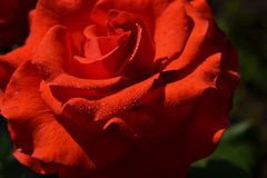Red rose. Macro red rose, tender bud with scarlet petals with the drops of dew Royalty Free Stock Image
