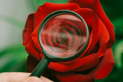Red rose and magnifier Royalty Free Stock Photos