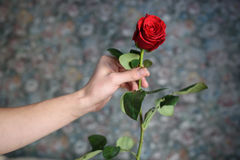 The red rose in the man hand for everyone Stock Photos