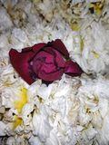 Red rose means love. Red rose mea means love stock photos