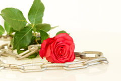 Red rose with metal chain - series of red roses Stock Photography