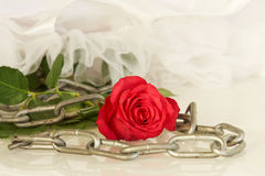 Red rose with metal chain and white dress - series of red roses Stock Image