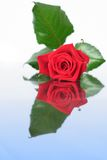 Red rose on mirror Royalty Free Stock Image
