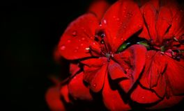 A red rose. Morning dew on a red rose stock photography