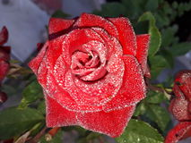 Red Rose. With Morning Dew stock images