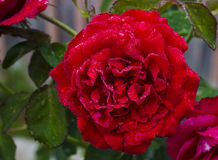 Red rose with morning dew. Red rose with morning dew with a blurred background of green leaves royalty free stock photography