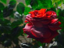 Red rose in morning dew, garden Stock Image
