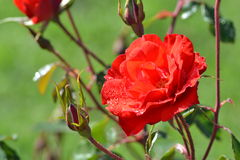 Red rose in morning dew Royalty Free Stock Photos