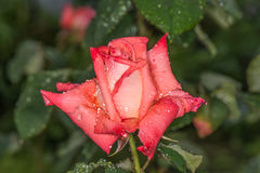 Red rose in the morning dew. We see flowers in a garden near Kiev stock images