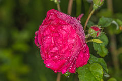 Red rose in the morning dew. We see flowers in a garden near Kiev stock photos