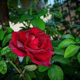 Red rose morning time royalty free stock photography
