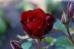 Red rose. The most beuatiful flower after rain Stock Images