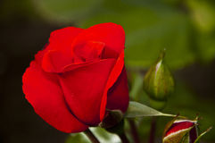Red Rose. On natural background Royalty Free Stock Images