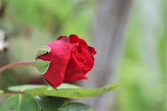 Red rose with natural background stock image