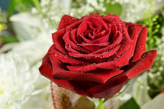 Red rose. Natural red rose with drops of water on a background of different colors Stock Images