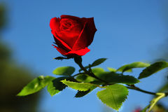 Red Rose in Nature. Wild red rose in  nature and blue sky Stock Photos