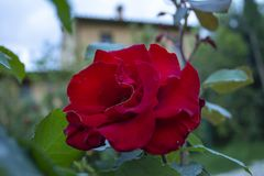 Red rose with nature background. Italy stock photography