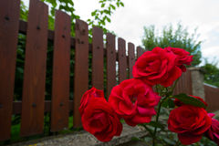Red Rose Next to a Fence. Red Rose Next to a Brown Wooden Fence in a Garden Royalty Free Stock Photos