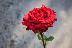 Red rose. Nice alone red rose in morning dew Stock Photography