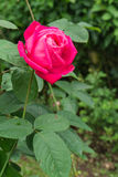 Red rose. At north of thailand Royalty Free Stock Image
