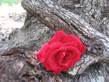 Red Rose on a old oak tree royalty free stock image