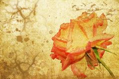 Red rose on old paper. Grunge Royalty Free Stock Photo
