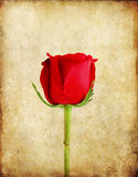 Red rose on old paper background Stock Photo