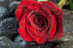Free Red Rose On Black Stones Stock Photo - 36262250
