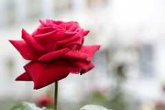 The red rose. One red rose in a summer garden Stock Photo
