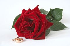 Red rose one and two golden wedding rings Stock Photo