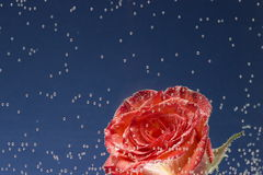 Red rose and orange, all covered with air bubbles on a blue back Royalty Free Stock Image