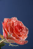 Red rose and orange, all covered with air bubbles on a blue back Royalty Free Stock Photos