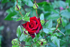 Red Rose Outdoor Stock Image
