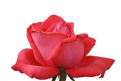 Red rose outlined. A red rose, symbol of love Royalty Free Stock Photography