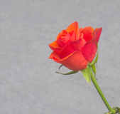 Red rose over gray background Royalty Free Stock Photo