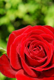 Red rose over green Stock Photos