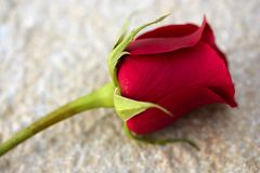 Red rose over old aged teak wood royalty free stock image