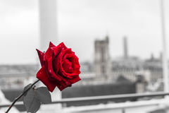 Red rose over Paris background from the terrace of Centre Pompidou. Museum Royalty Free Stock Photo