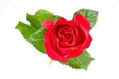 Red rose over white Royalty Free Stock Photo