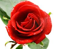 Red rose over white Royalty Free Stock Image