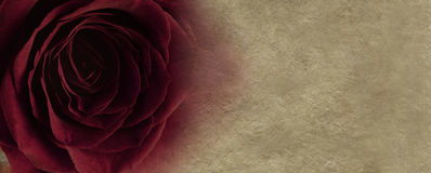 Red rose on parchment background. Wide background with a red rose head on left side merging into parchment on right side Royalty Free Stock Image