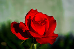 Red rose. The perfect gift Stock Photos